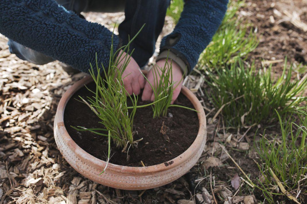 Sara planterar gräslök i kruka