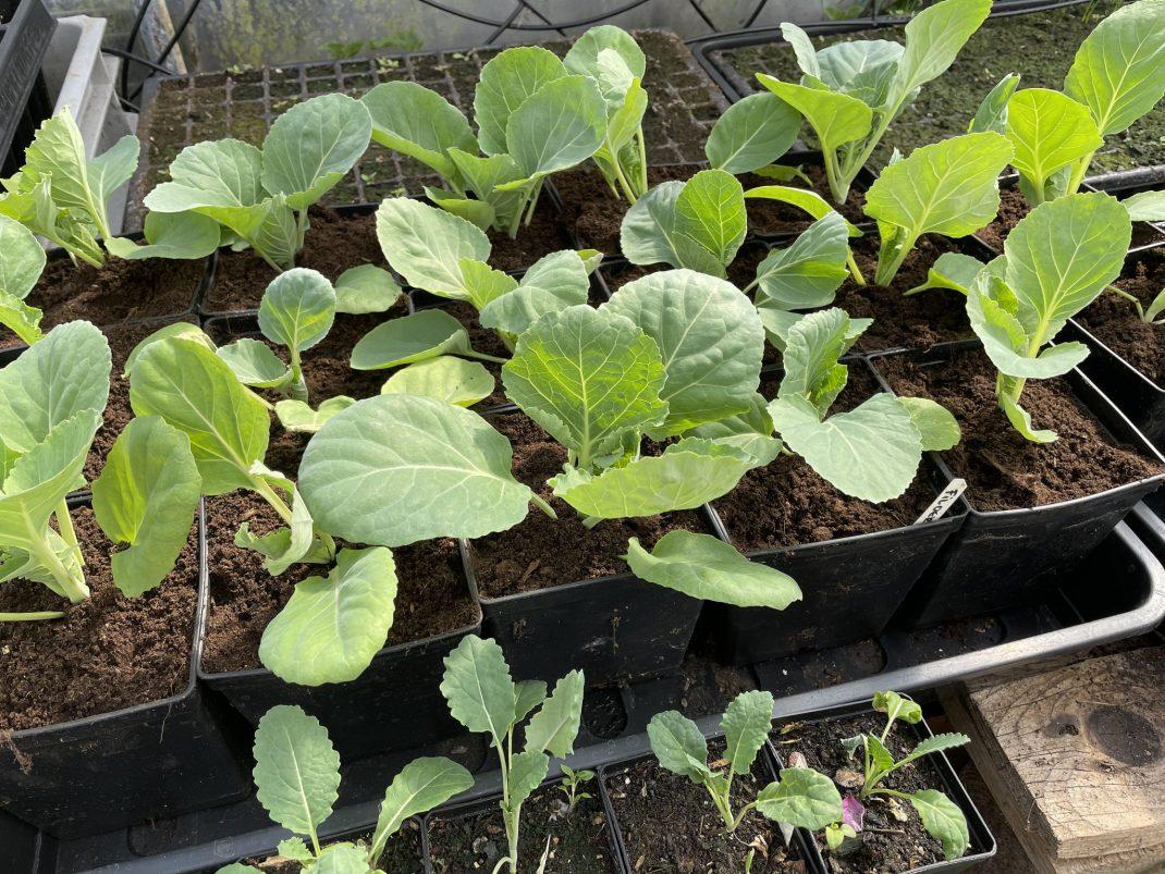 Friska fina kålplantor i svarta krukor.