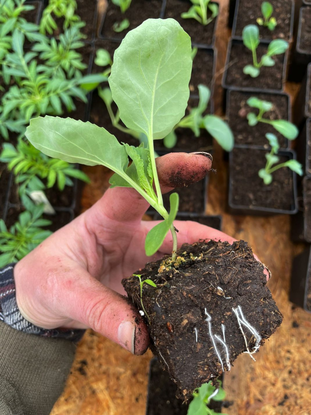 En hand håller en liten kålplanta.