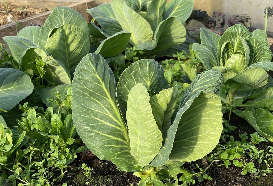 Plantering med gröna kålhuvuden.