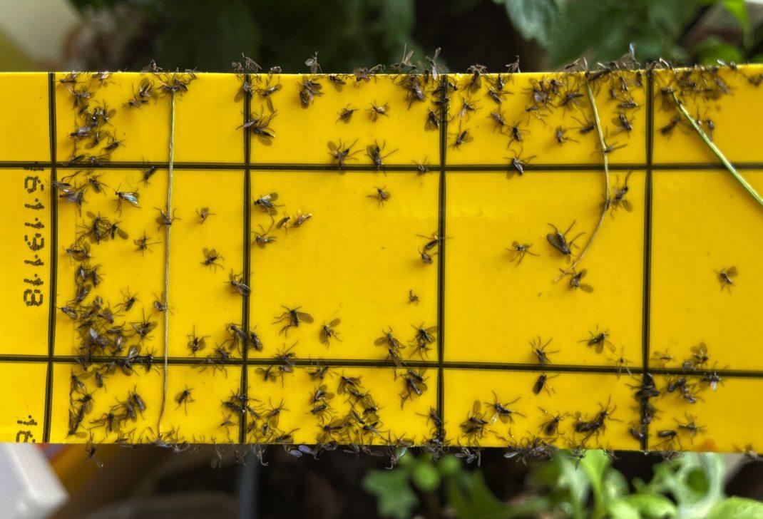 Närbild på gul klisterskiva med svarta små flugor på.