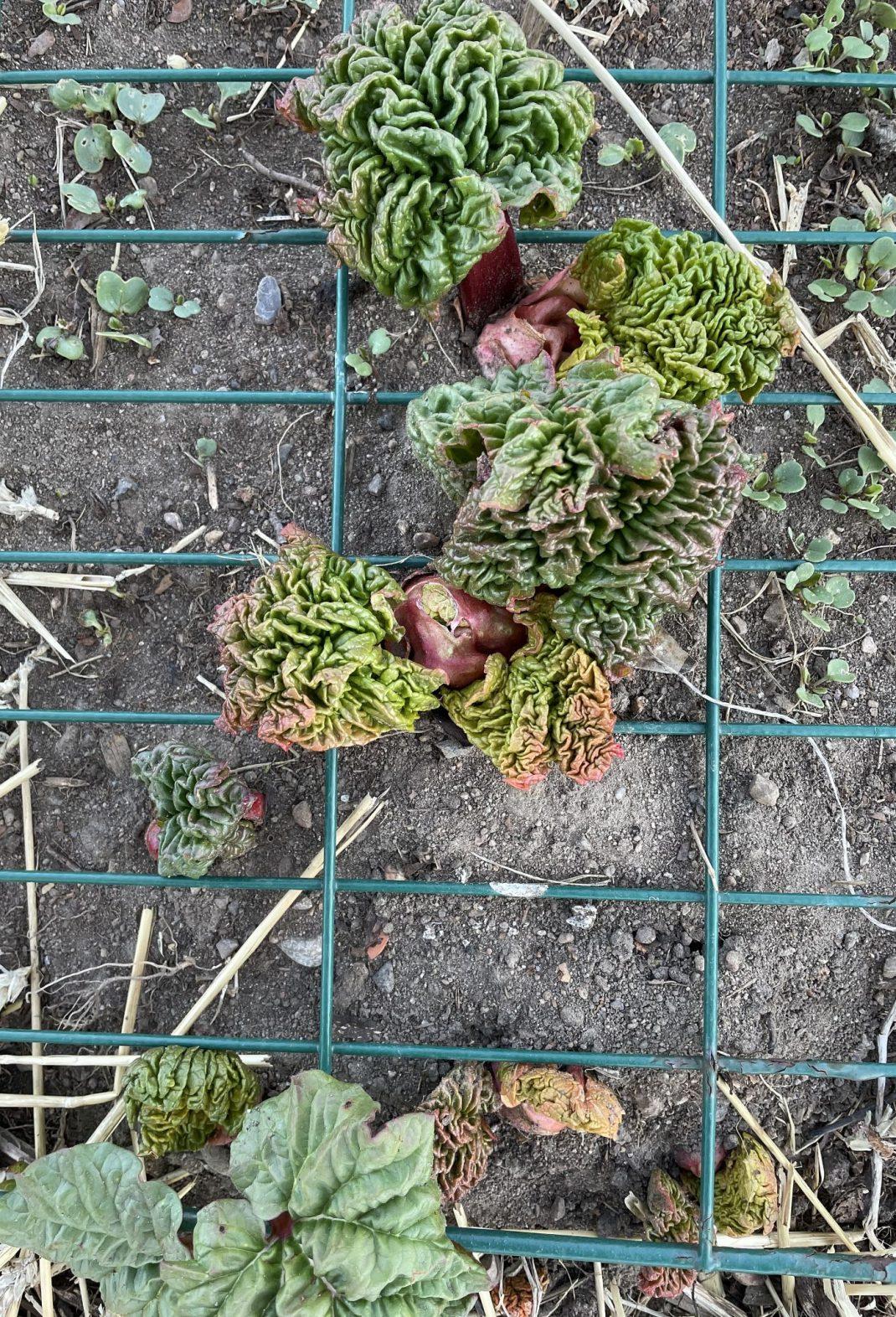 Närbild på rabarber som spränger upp ur jorden.