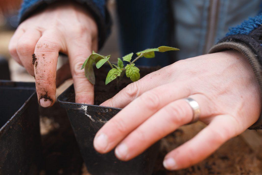 Plantera om tomatplantor