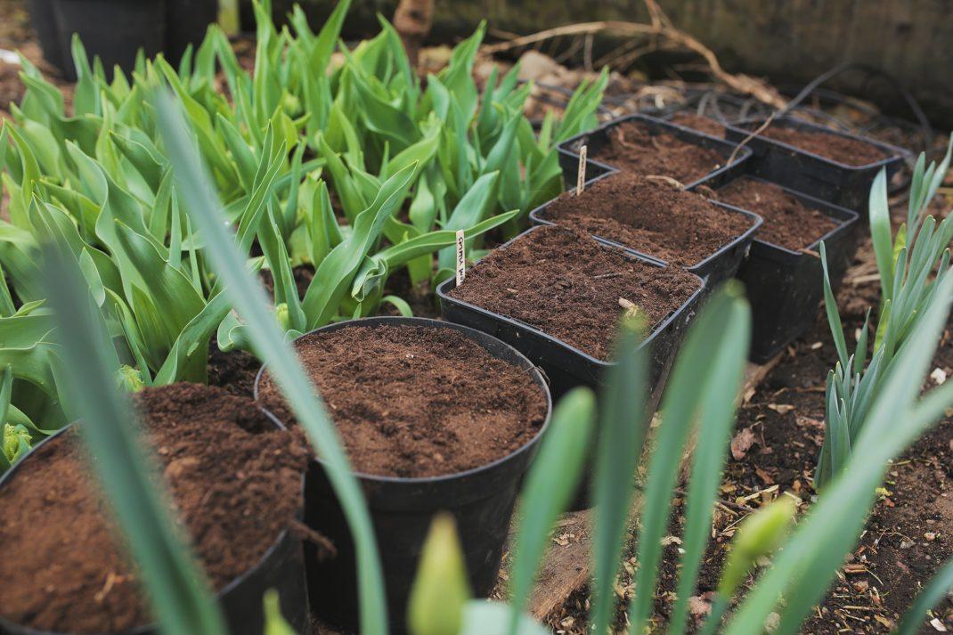 Planterade dahliaknölar i växthus