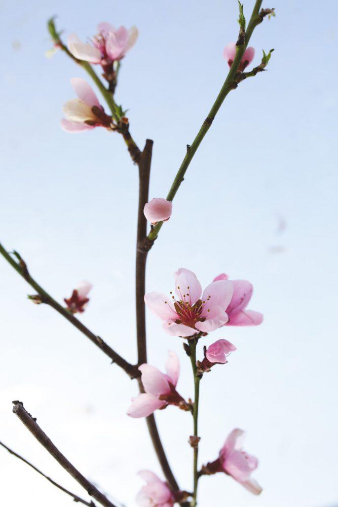 Persikoträd som blommar