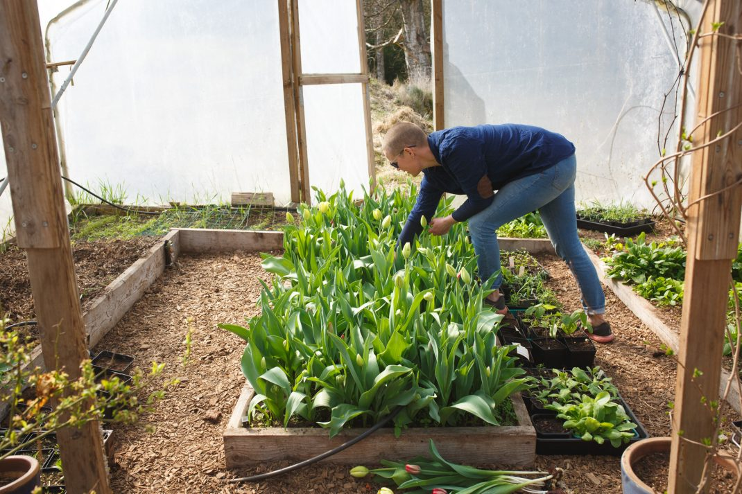 Sara plockar egenodlade tulpaner