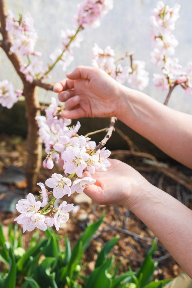 Blommande persikoträd