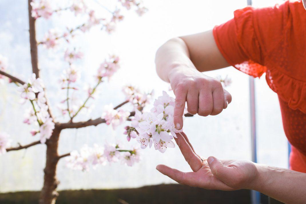 Pollinera persikoträd med fingret