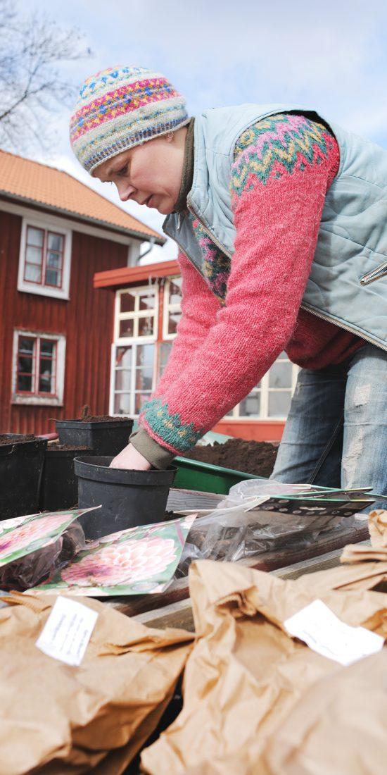 Sara planterar dahliaknöl