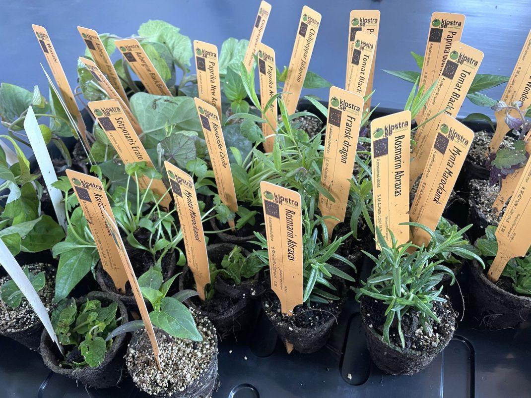 Många plantor med plantetiketter står tillsammans på en bricka.