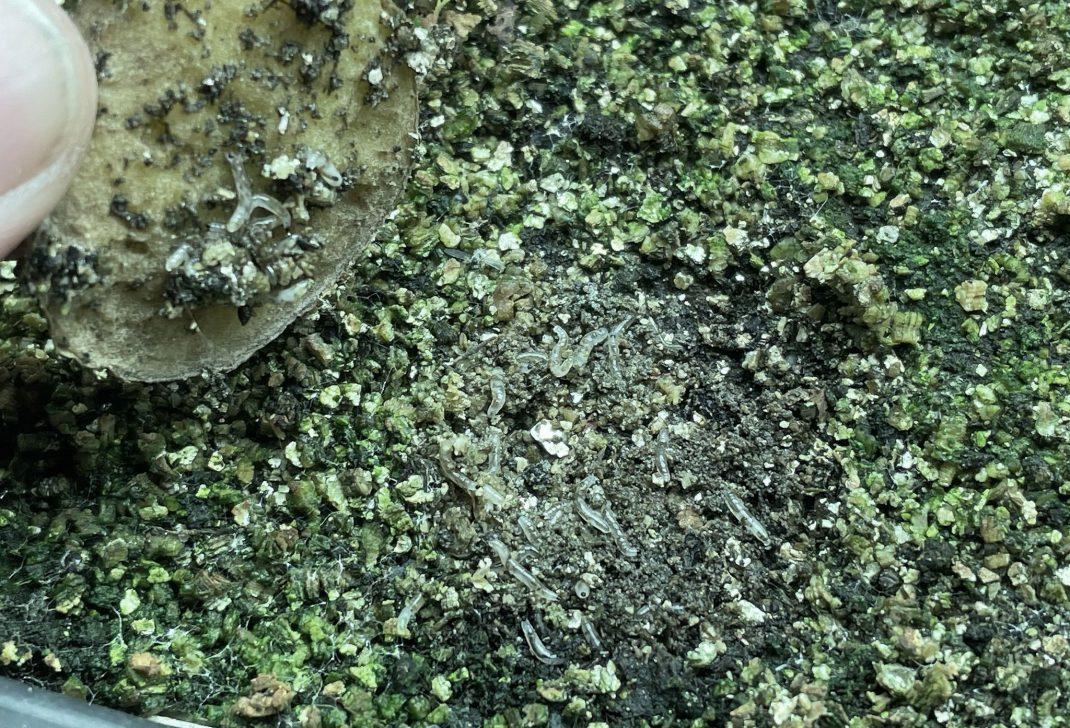 Närbild på larver på jorden.