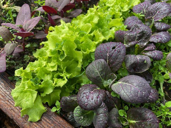 Närbild på bladgrönsaker i olika färger