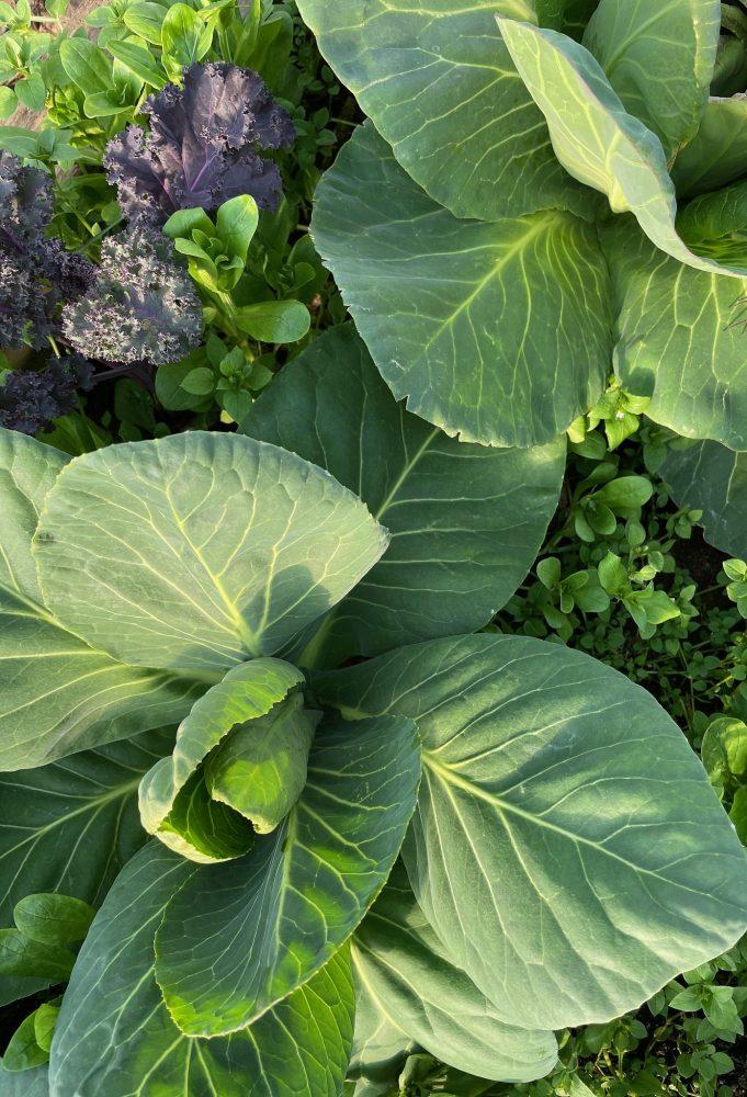 Bild ovanifrån på två kålväxter.