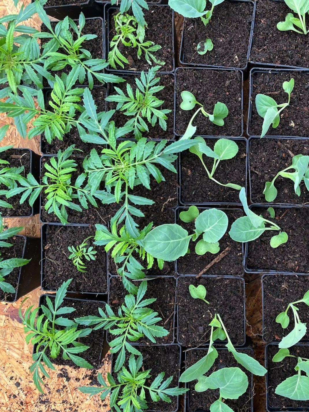 Omplanterade växter i små krukor.
