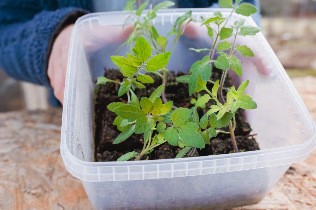 Tomatplantor planterade med soilblockers