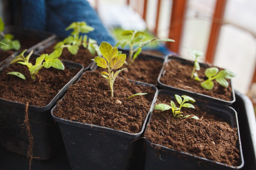Omplantering av tomater