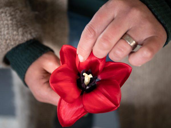 En vacker röd tulpan med utvikta kronblad.