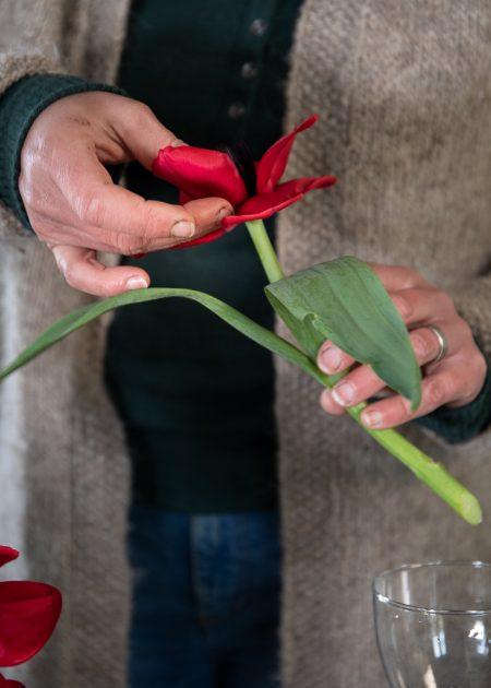 Någon viker ut kronbladen på en röd tulpan.