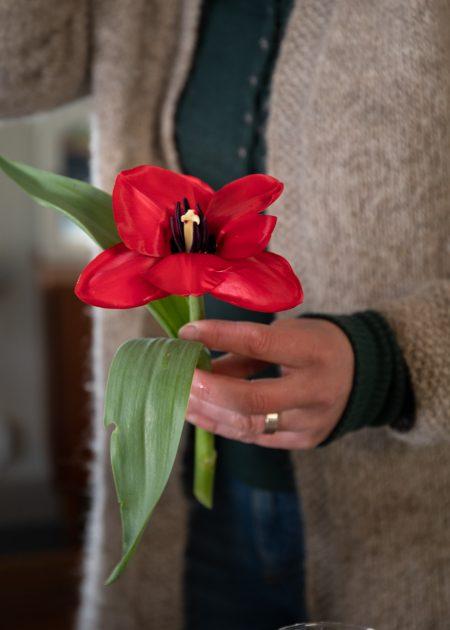 En röd tulpan med utvikta kronblad.