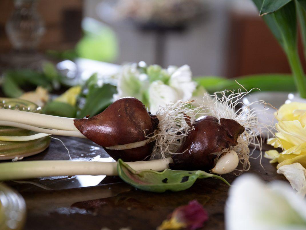 Tulpanlökar ligger på ett bord.