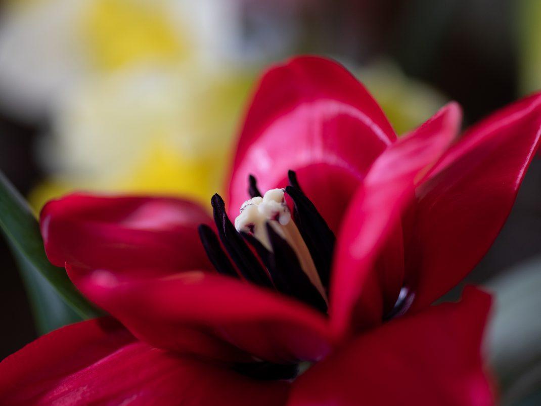 Närbild av en röd tulpan.