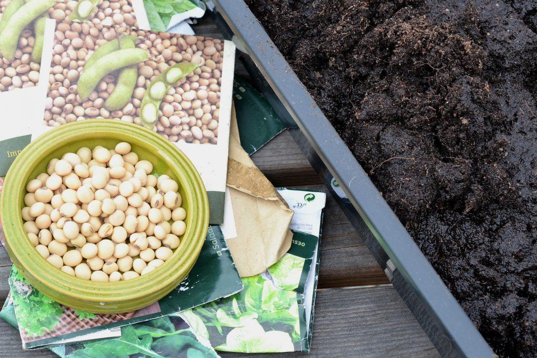 Odla sojabönor i trädgården. Fröer och jord på ett bord.