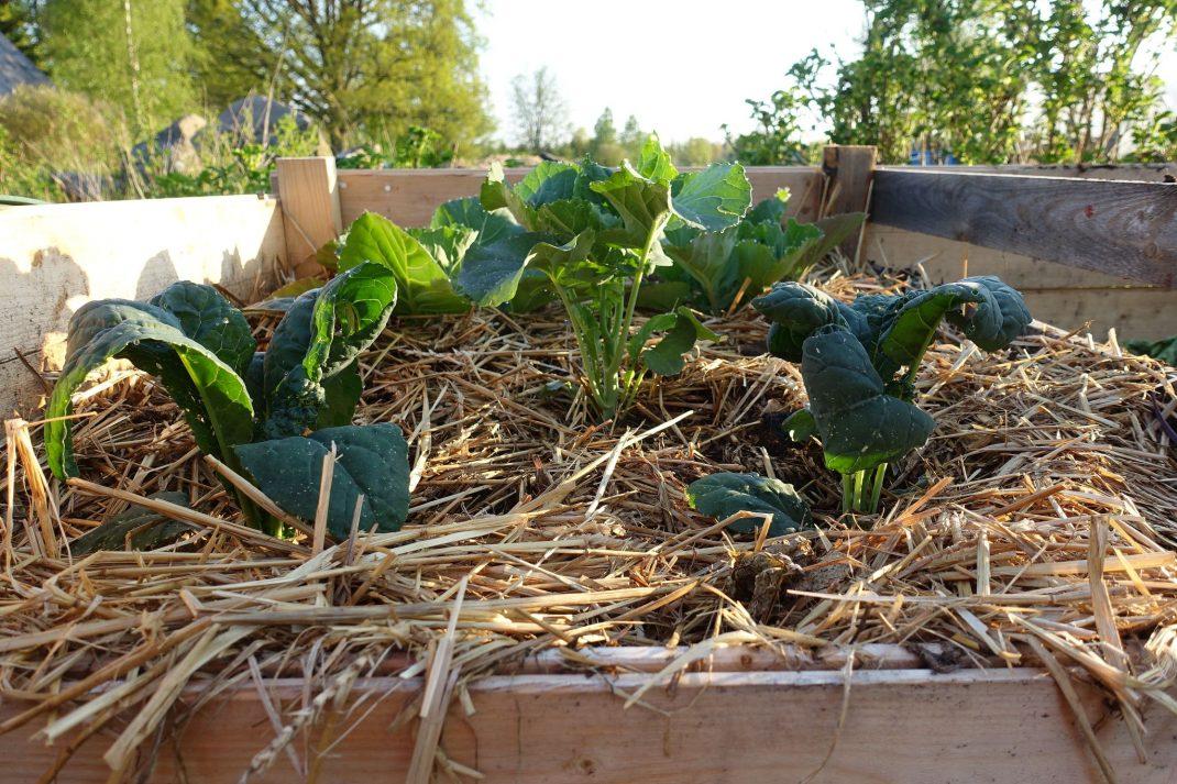 Fem kålplantor på toppen av en komposthög.