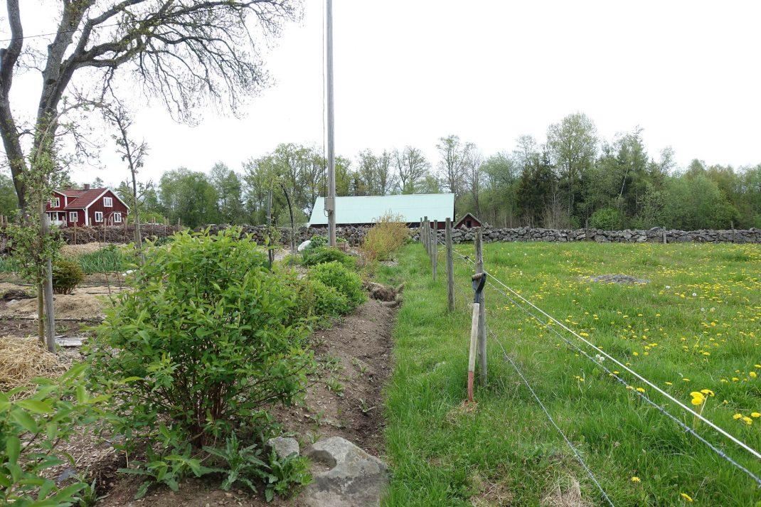 Köksträdgård på ena sidan och maskrosor i hage på andra sidan.