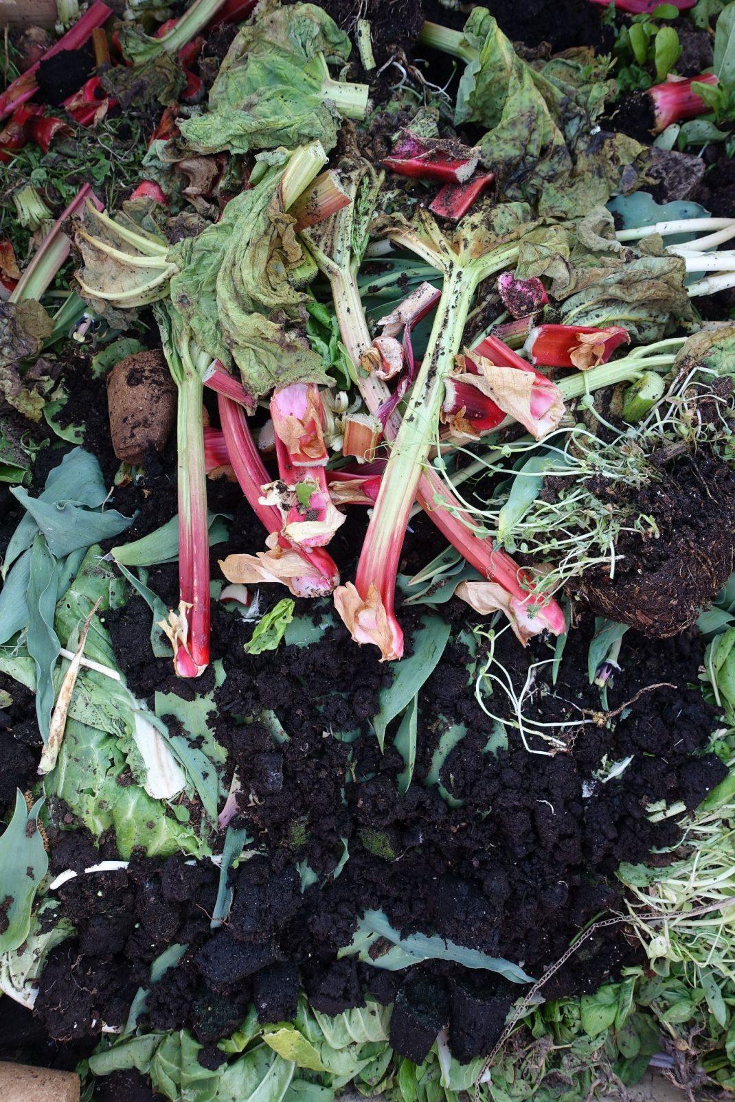 Kompost med färgglada rabarberstjälkar.
