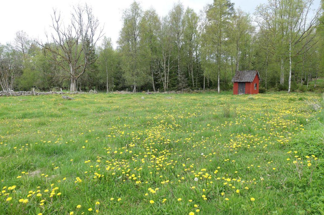 Grön betesmark med massor av maskrosor i som blommar.