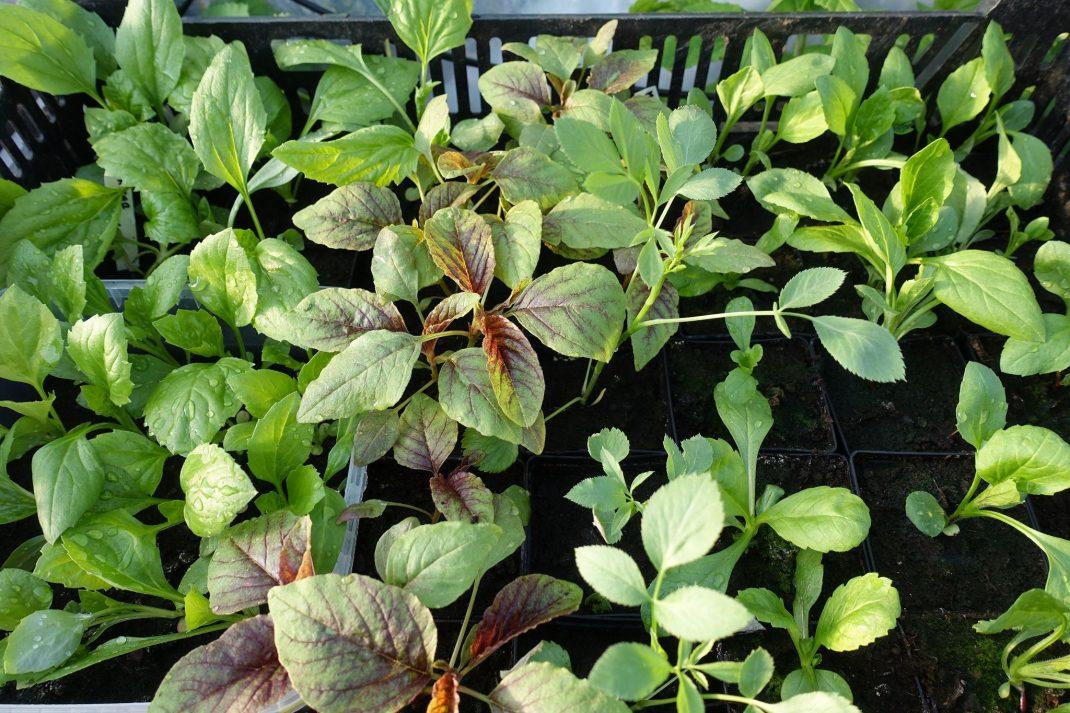 Gröna plantor i svarta krukor.