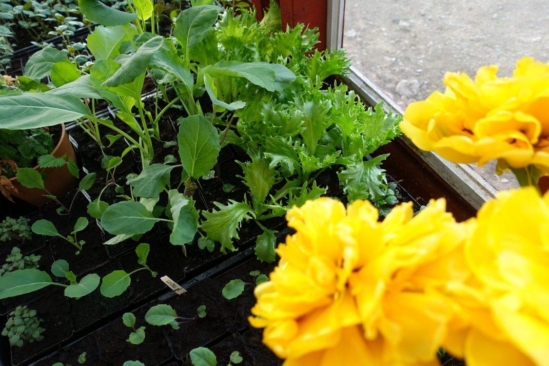 Små gröna plantor och gula tomater bredvid varandra.