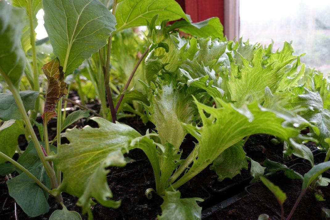 Närbild på grön sallat med flikiga blad.
