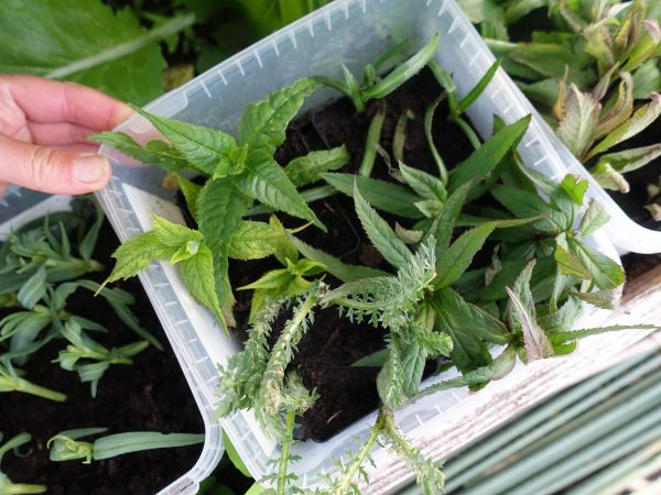 En godislåda med gröna plantor i.