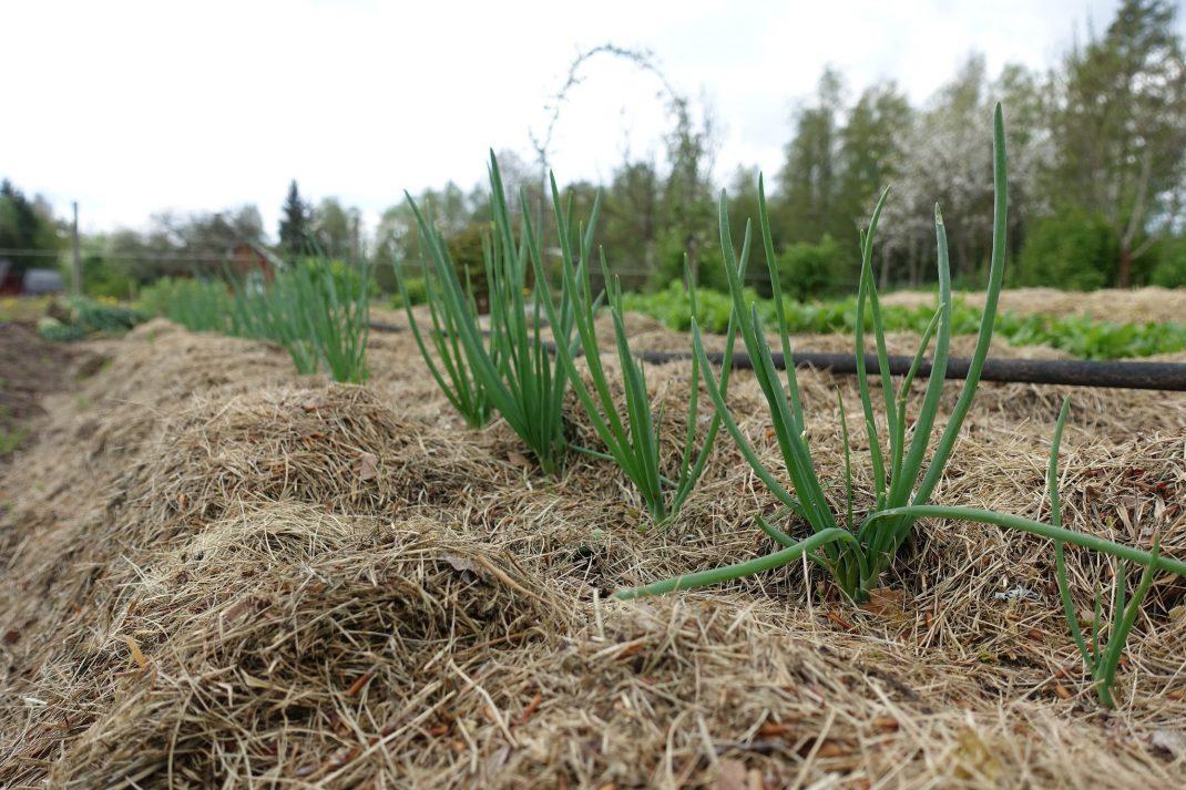 Närbild på bädd täckt med gräsklipp och lök som växer där i.