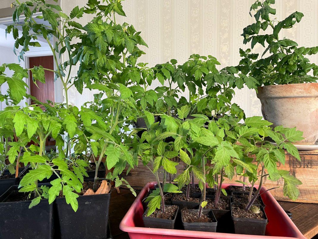 Tomatplantor uppradade på ett bord.