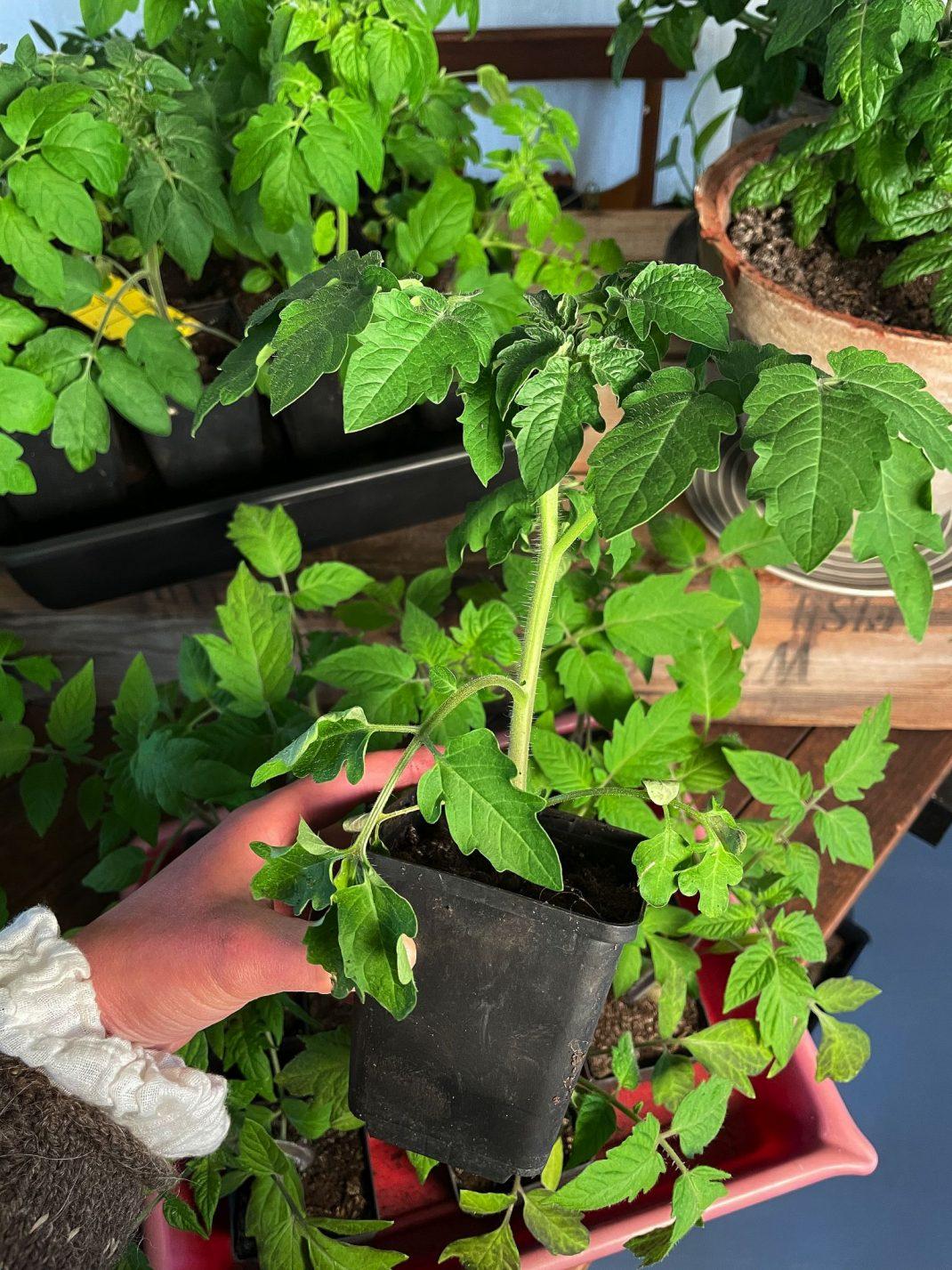 En fin tomatplanta i en hand.