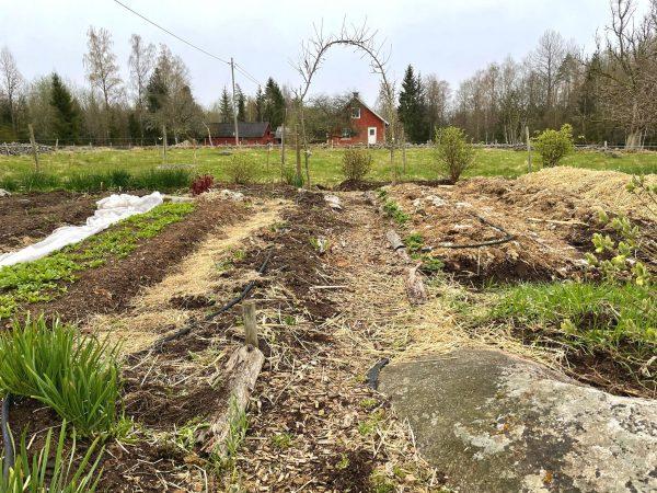 Översikt över odlingsbäddar täckta med halm och trädgårdsskräp.