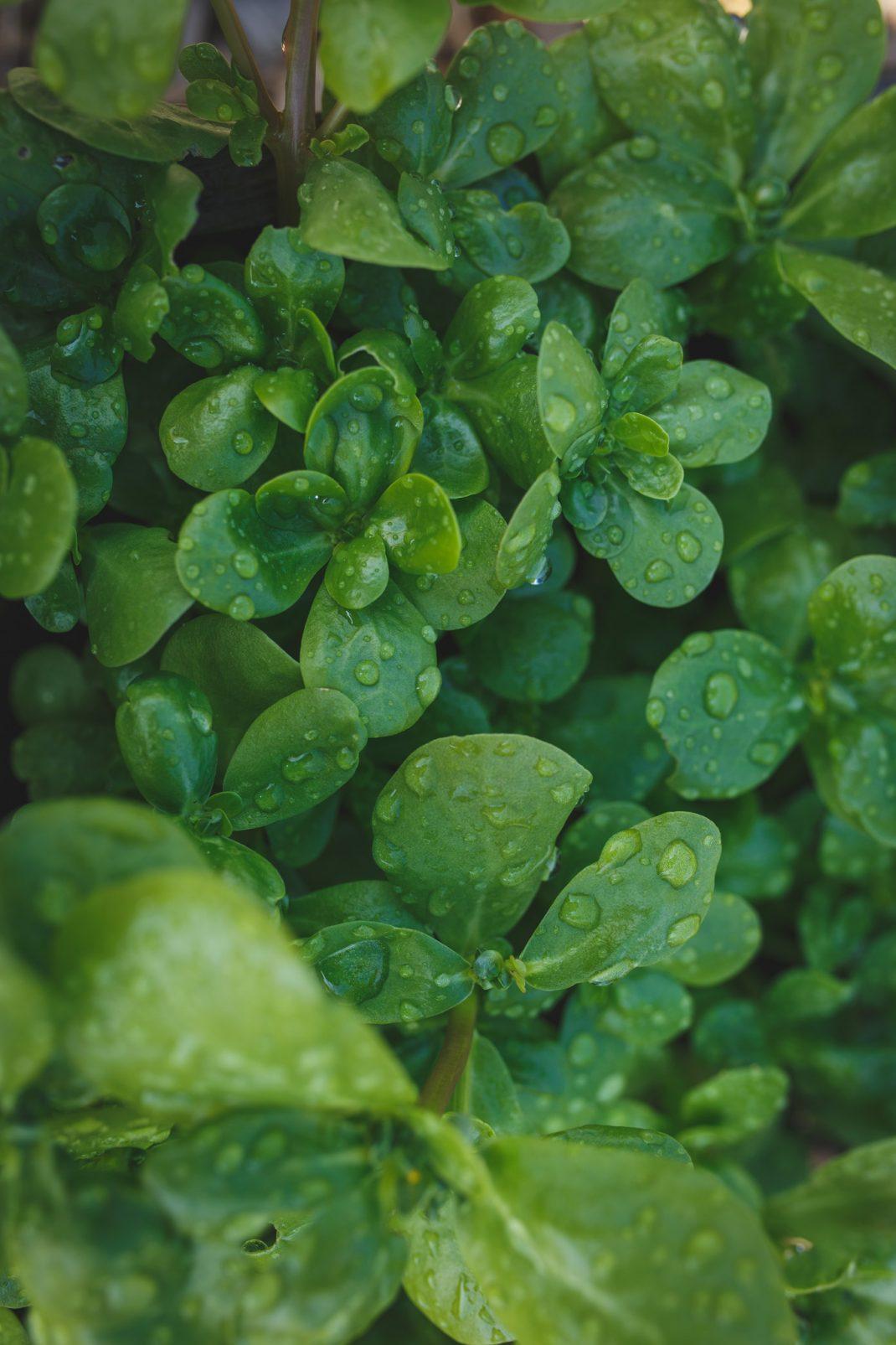Vintersallad som är vattnad med Gardenas microdrip
