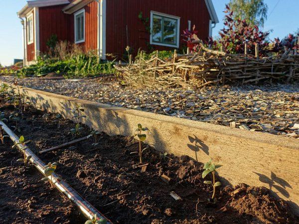 En odlingsyta med en kant av tjockt trä med bevattningsslang.