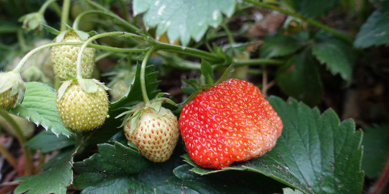 En röd jordgubbe på en planta.