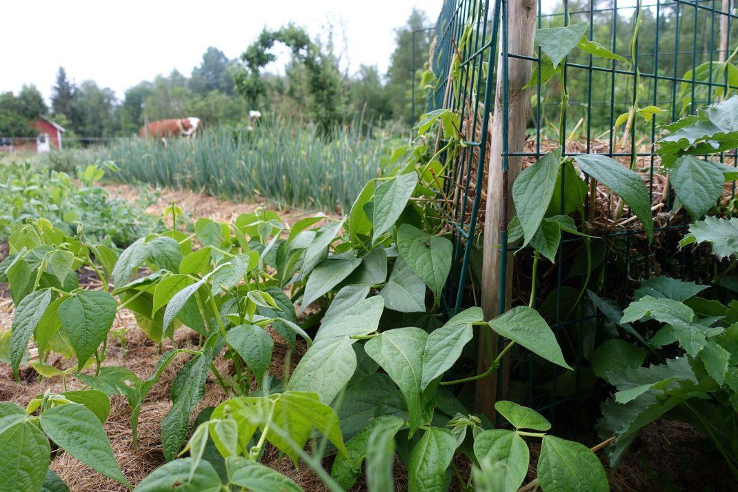 Grönt kompostgaller och bönor som slingrar uppför.