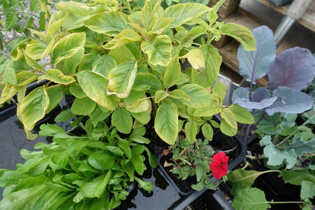 Plantor i ett tråg med vatten.