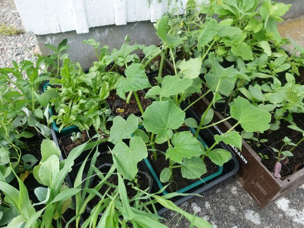 Backar med frodigt gröna växter i krukor.