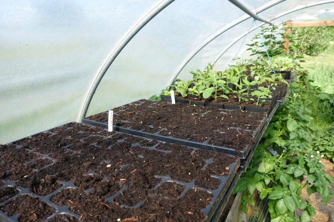 svarta pluggbrätten med jord på en hylla i tunnelväxthus