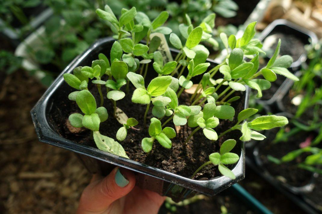 Ett svart tråg i plast med små plantor i.