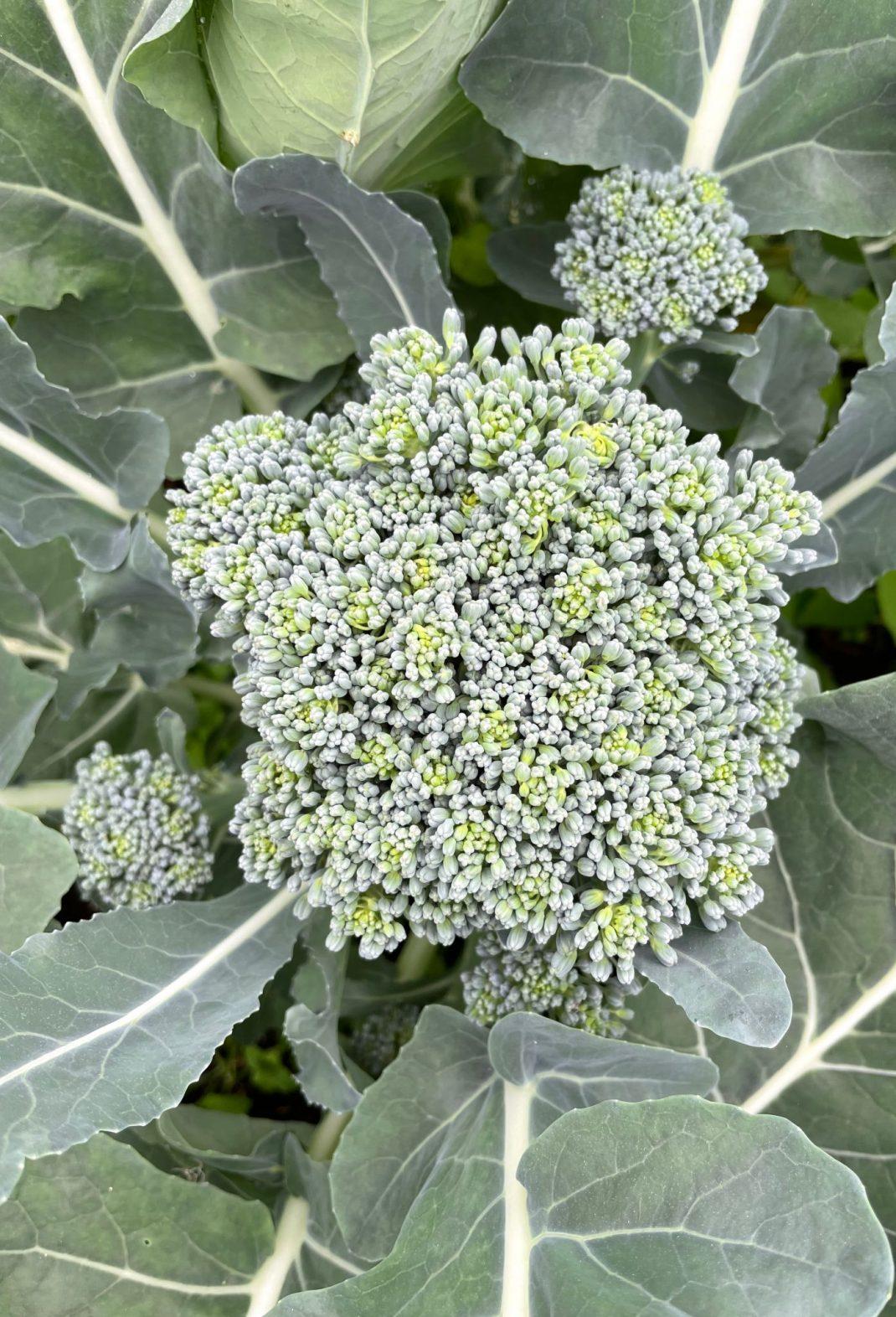 Ett grönt stort skott av broccoli fotograferat ovanifrån.