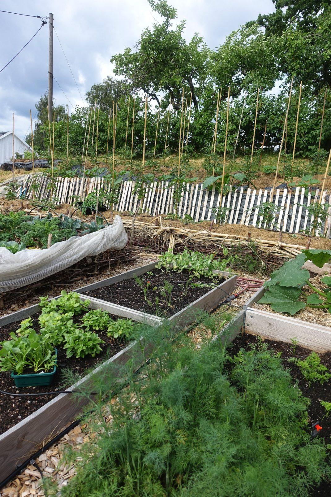Köksträdgård med pallkragar och bäddar i en sluttning.