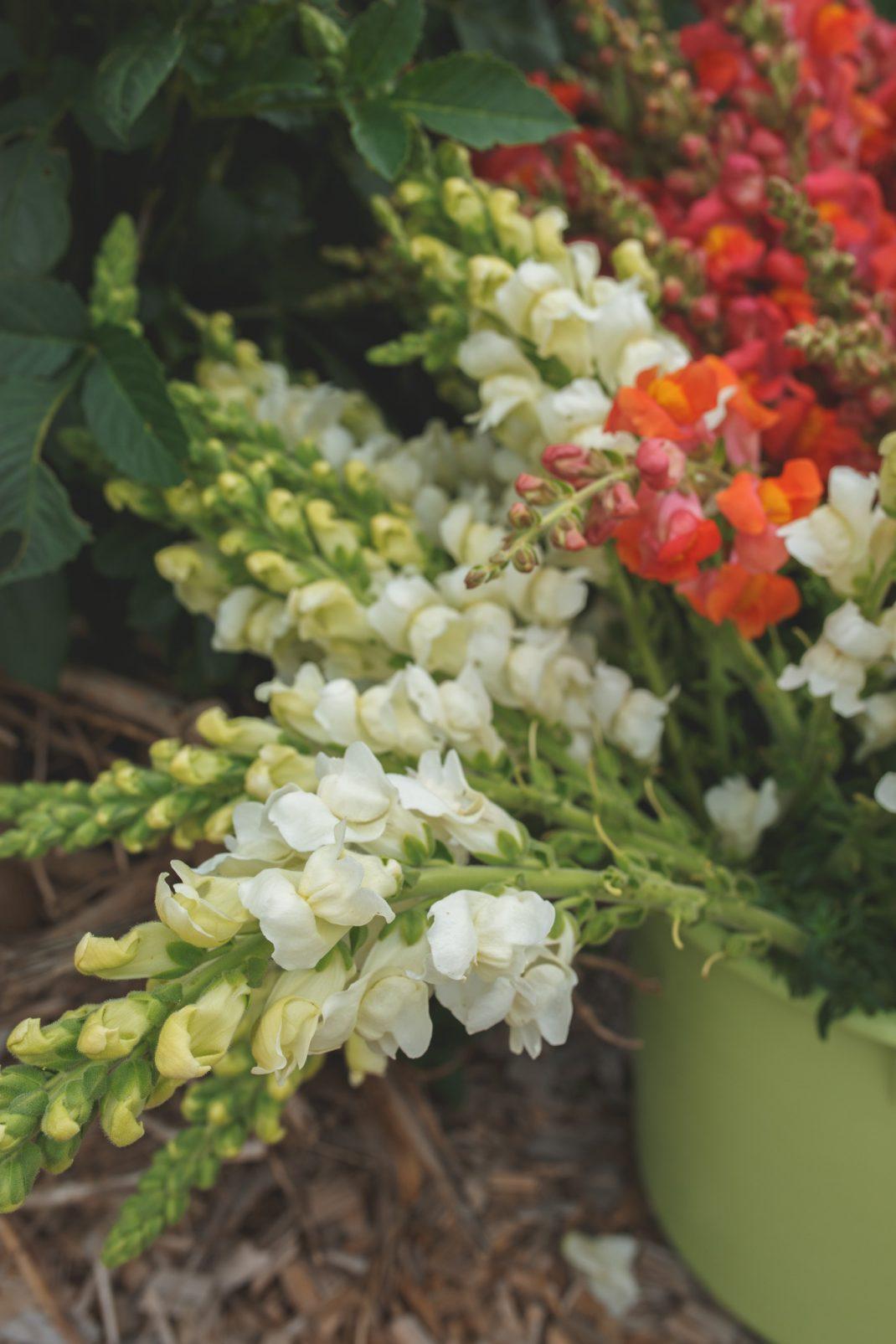 Lejongap för leverans till Astas blommor