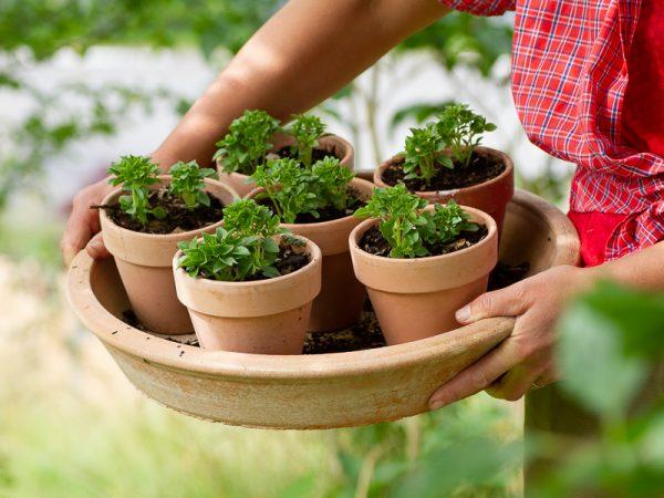 Små basilikaplantor nyplanterade i vackra lerkrukor.